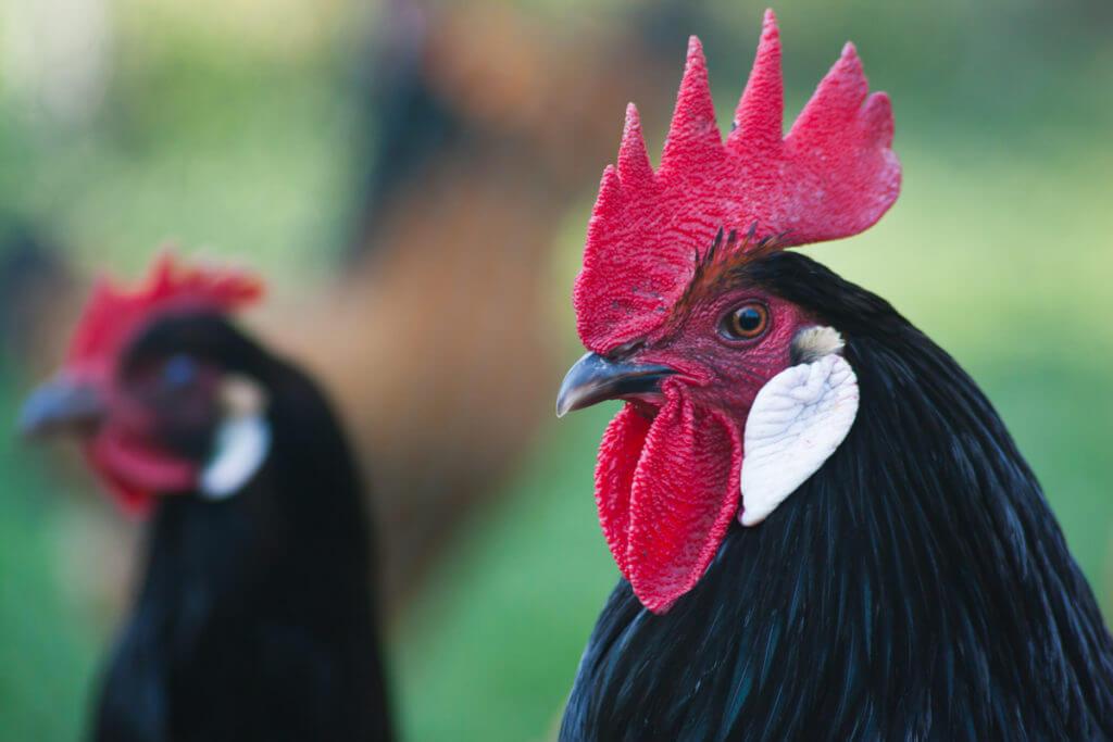 Huhn Hühner Vorwerkhuhn Henne