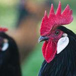 Huhn Hühner Vorwerkhuhn