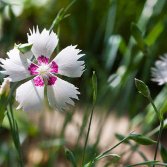 Nelke Nelken Staude Blumen Blume Stauden