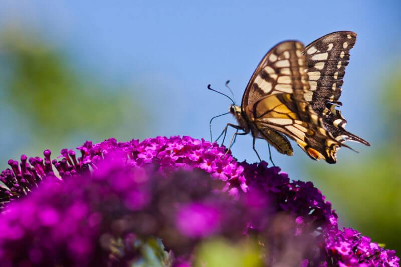Schmetterling pflegeleichter Vorgarten Schmetterlingsstrauch