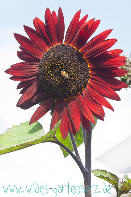Sonnenblume Chocolat