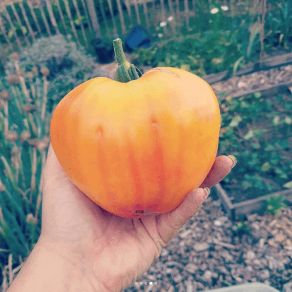 Orange Russion Tomate