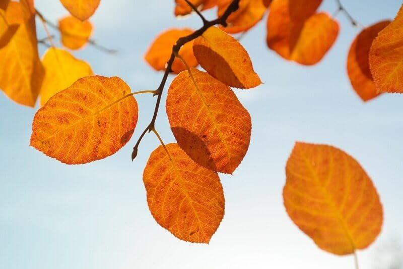 Herbstliche Felsenbirne
