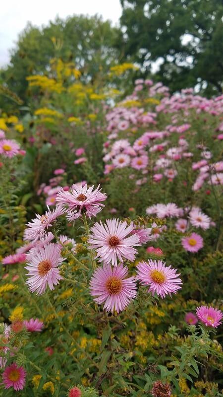 Astern der botanische Garten