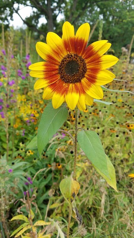 der botanische Garten Sonnenblume