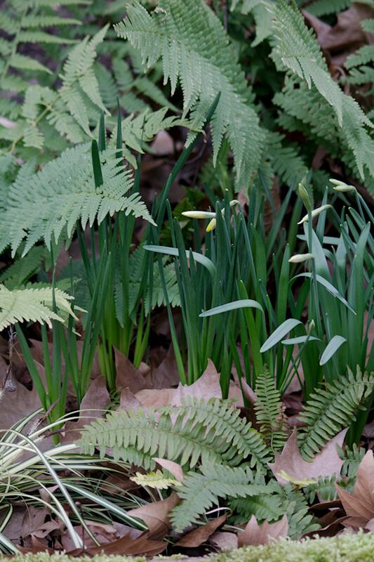 Bilder von Frühlingsblüher Narzissen