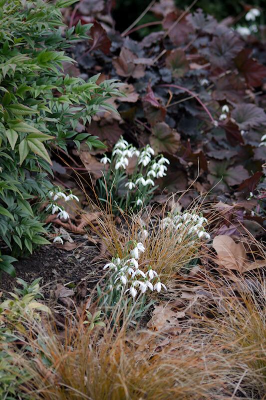 Bilder von Frühlingsblüher Schneeglöckchen