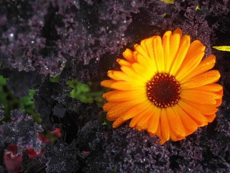 Gemüse im Winter anbauen Grünkohl und Ringelblume