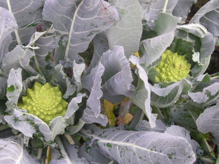 Gemüse im Winter anbauen