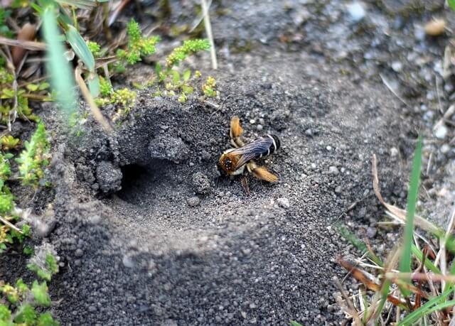 Wildbienenart Wildbiene Sand