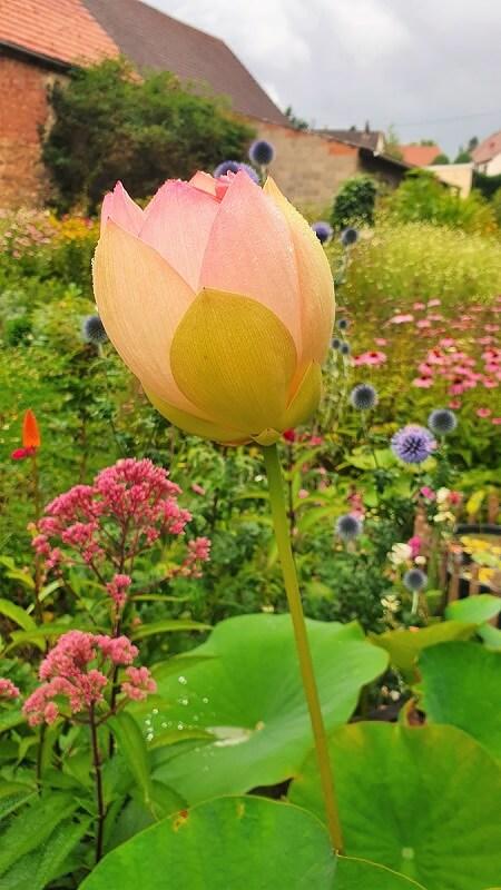 Lotusblume im Kübel