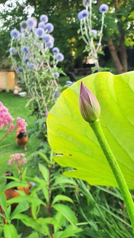 Lotusblume kommt